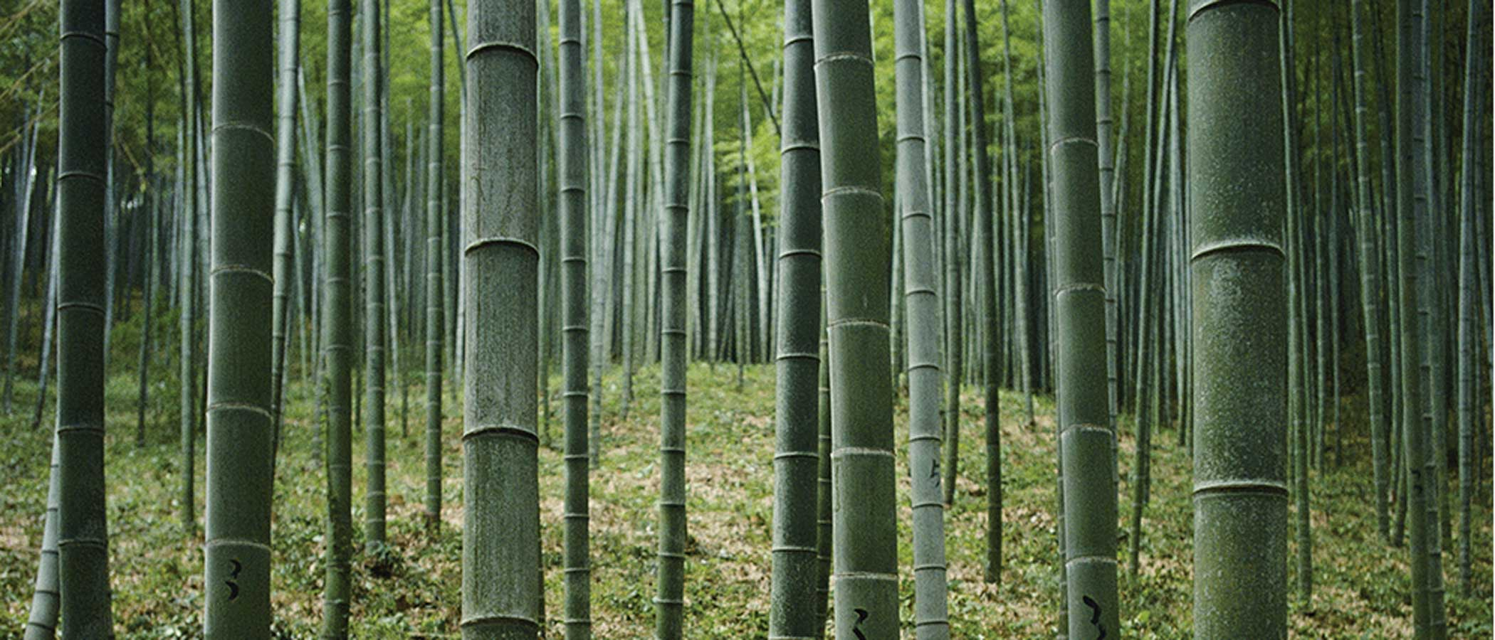 A bamboo forest.