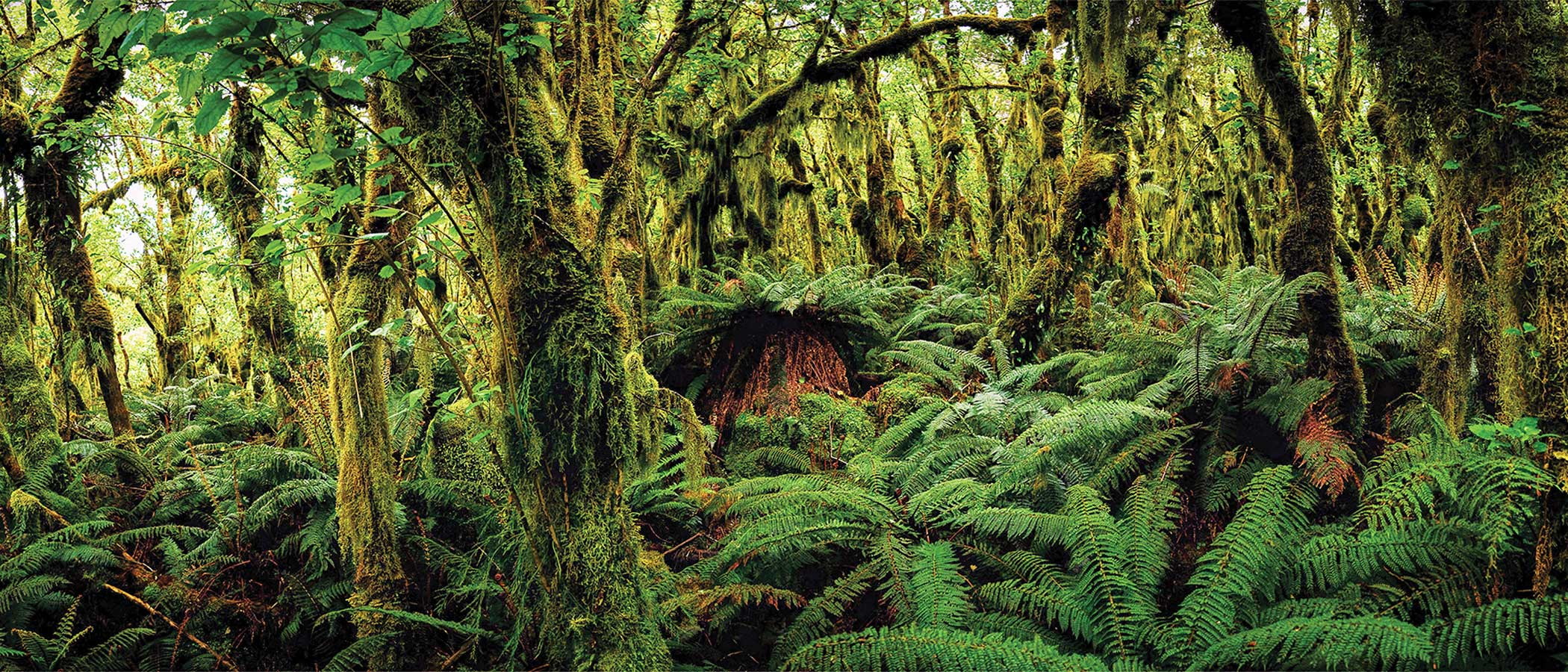 Moss, fern, and southern beech trees in Fiordland National Park on the South Island of New Zealand.
