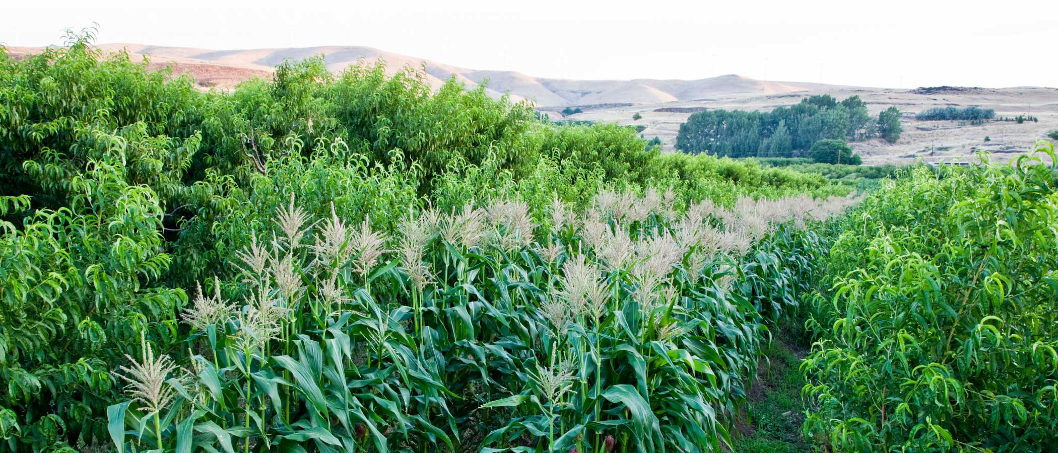 A new Freestone Peach orchard intercropped with corn in Klickitat County, south central Washington.
