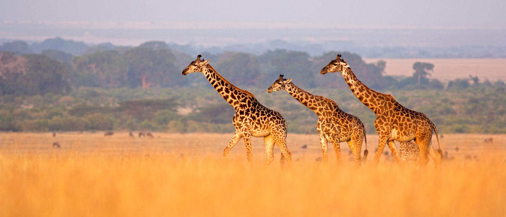 Giraffe on the grasslands of Masai Mara, Kenya